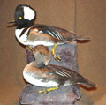 waterfowl_taxidermy
