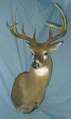 whitetail deer mount by Pennsylvania taxidermist Stephanie Lee