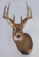 whitetail deer taxidermy by Georgia taxidermist Tom Newell