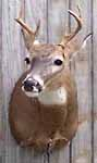 Deer mount done by Michigan taxidermist Steve Hall for one of the United Special Sportsman Alliance
