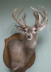 Texas whitetail taxidermy mount by Texas taxidermist Evelyn Mills