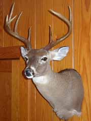 whitetail taxidermy by South Carolina taxidermist Brian Wisner
