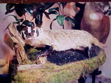 badger taxidermy done with WHITETAIL DESIGNER SYSTEMS tanning supplies.