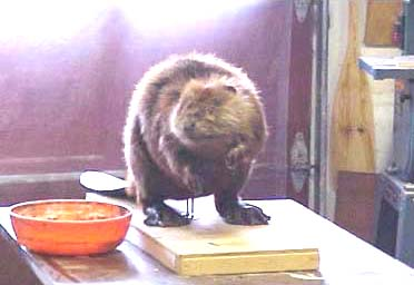 beaver taxidermy