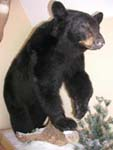 Black bear taxidermy by Connecticut taxidermist Ryan Rhodes