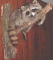 COON_TAXIDERMY