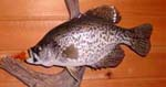 Crappie taxidermy by Ron Levin