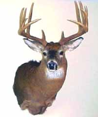 Whitetail taxidermy by connecticut taxidermist Steve Hackett