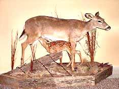 Whitetail Deer Taxidermist Whitetail Deer Taxidermy
