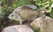 crappie taxidermy