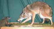 Coyote and groundhog taxidermy by Michigan taxidermist Jon Cart
