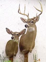 whitetail deer doe and buck taxidermy by Mississippi taxidermist Dan Heasley