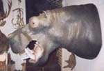 hippopotamus taxidermy