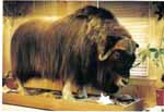 musk ox taxidermy
