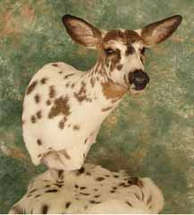 Visions of Nature Taxidermy Piebald Deer Mounts