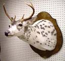 pied deer by Mississippi taxidermist Dan Heasley