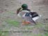 mallard duck taxidermy reference photos