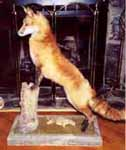 Red fox taxidermy by Georgia taxidermist Michael Shipman
