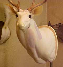 whitetail_mannikin