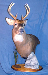 Whitetail deer taxidermy by Connecticut taxidermist     Johny Humphries