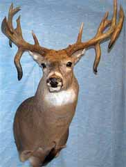 whitetail by Kansas taxidermist Kendall Shaw