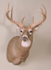 Whitetail deer mount by Kansas taxidermist Eric Couch