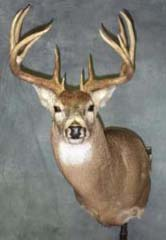 whitetail taxidermy by Kansas taxidermist Lonny Travis