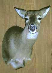 WHITETAIL DOE TAXIDERMY by Pennsylvania taxidermist Eric Smith