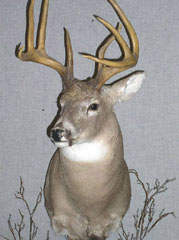 WHITETAIL BUCK MOUNT by New York taxidermist Rich Dunlop