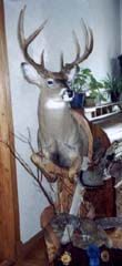whitetail taxidermy by John Mallien