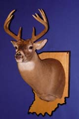 Whitetail deer taxidermy by Indiana taxidermist Jeff Sonner