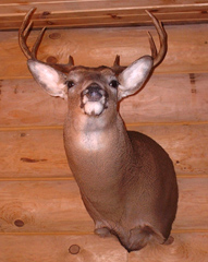 Whitetail deer taxidermy by Illinois taxidermist Ron Levin