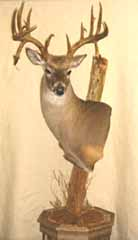 whitetail deer taxidermy by Lost Pines taxidermy studio