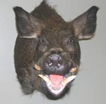 wild boar taxidermy